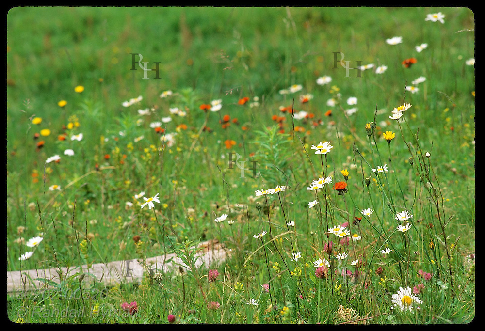 Alpine wildflowers grace meadow on a summer day in the Vosges Mountains; Soultzeren, Alsace. France