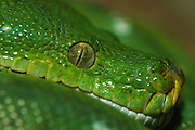 Close up of the head and face of a green tree python, Morelia viridis