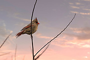 A Female Cardinal Bird on a tree branch in the winter. Photo by Brandon Alms Photography