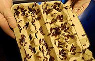 Deu, Deutschland: Deutsche Schabe (Blattella germanica) in einer offenen Eierverpackung, das dient als Unterschlupf in der Aufbewahrungsbox, Bayer CropScience Ag, Tierzuchtabteilung, Monheim am Rhein, Nordrhein-Westfalen  | Deu, Germany: German cockroaches (Blattella germanica)  in an open egg box , that gives shelter in their storage box, Bayer CropScience AG at the animal breeding department, Monheim/Rhine, North Rhine-Westphalia | ..