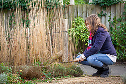 Cutting back ornamental grasses with hand shears. Calamagrostis