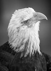 A curious bald eagle in black and white with glowing feather details