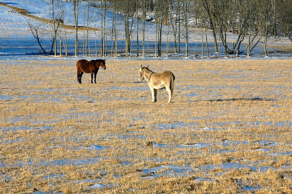 It's a standoff between a horse and donkey in a frozen field in rural Loudoun County, Virginia.