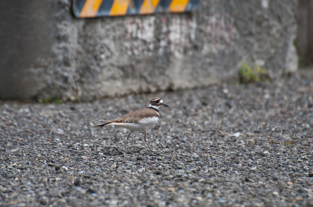 A killdeer (Charadrius vociferus) in a parking lot near Jack's Block, West Seattle, Washington.  Photo by William Byrne Drumm.