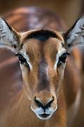 Impala (Aepyceros melampus), Lake Nakuru National Park, Kenya.