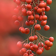 Berries from the Iigiri Tree