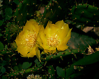 Yellow Prickly Pear Cactus Flowers. Image taken with a Leica TL2 camera and 60 mm f/2.8 macro lens.