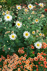 Chrysanthemum 'Picasso' with Chrysanthemum 'Elaine's Hardy White'