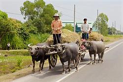 Carrying Rice On Water Buffalo Driven Carts