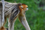 Golden Snub-nosed Monkey, Rhinopithecus roxellana, adult showing its teeth, Foping Nature Reserve, Shaanxi, China