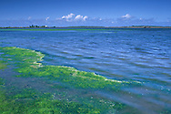 Algae growth at the edge of the Eel River, near Ferndale, Humboldt County, CALIFORNIA