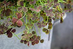 Trifolium repens 'Purpurascens Quadrifolium' in a galvanised container