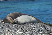 Hawaiian monk seal, Neomonachus schauinslandi, formerly Neomonachus schauinslandi ( Critically Endangered, endemic species ), 8-9 year old female ( RI25 ), and 6 week old pup ( RN02 or Kamilo ) resting on beach, Kaiole Bay, near Kamilo Point, Ka'u, Hawaii ( the Big Island ); this shoreline is known locally as Trash Beach because marine debris continually washes ashore here - note the bits of plastic and glass stuck to the pup's fur and littering the beach