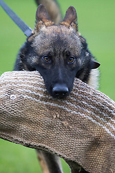 © Licensed to London News Pictures . 13/11/2012 . Manchester , UK . 9 month old rescue German Shepherd , Jerry . Specialist handlers from Greater Manchester Police put police dogs through their paces at a training event . Greater Manchester Police are appealing for members of the public to donate unwanted dogs to the force . Photo credit : Joel Goodman/LNP