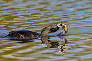 A pied-billed grebe (Podilymbus podiceps) pulls a fish out of the water at a pond in the Union Bay Natural Area, Seattle, Washington.