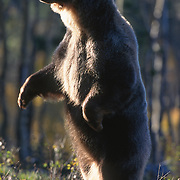 Grizzly bear (U.a. horribilis) on its hind legs growling. Captive Animal