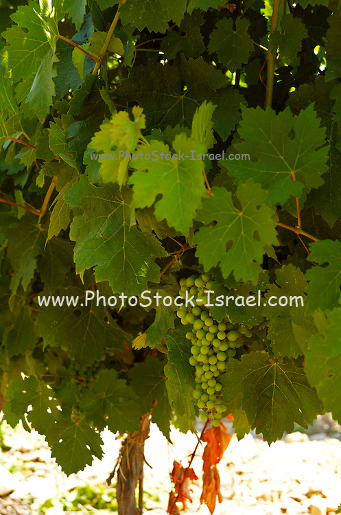 Israel, Judea Hills, Tzora winery and vineyards, Cabernet vines planted in marlstone type clay soil, June 2007 2 months before harvest. Close up of the unripe grape clusters and leaves