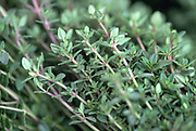 Close up selective focus photograph of Thyme plant stems
