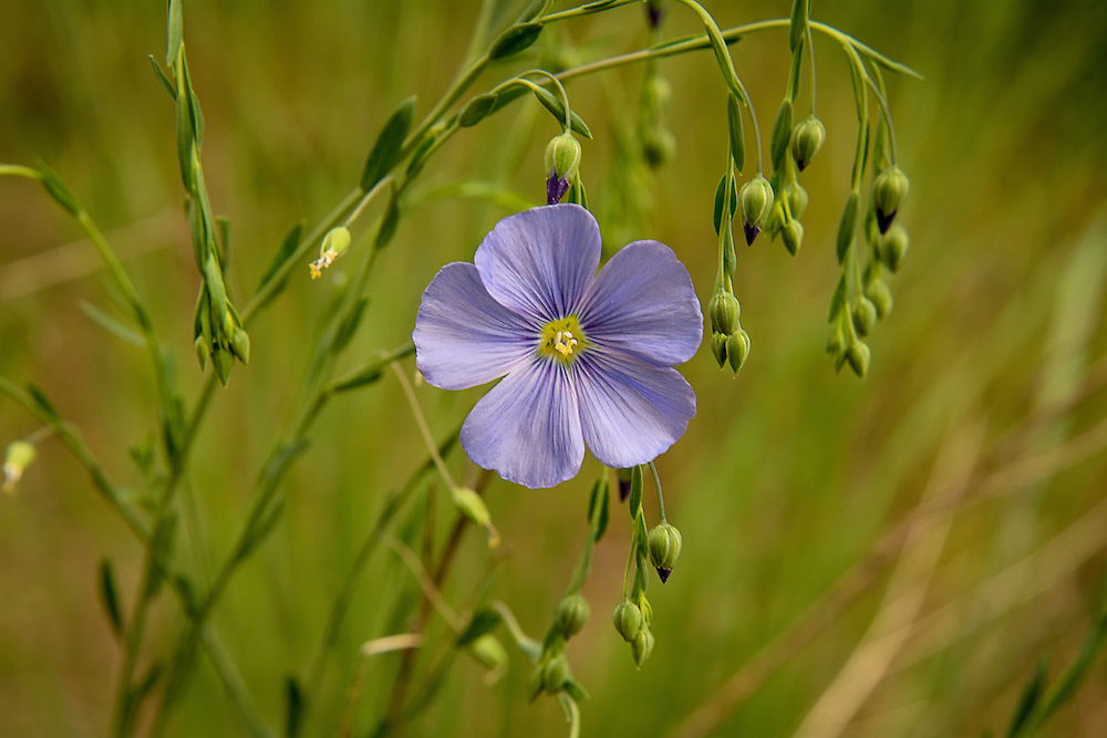 Found all over western North America plus Michigan and West Virginia, this native flax is found as far north as Alaska and the Northwest Territories in Canada, all the way south to Mexico's Baja California. It prefers dry climates in open grasslands, sagebrush steppes and both ponderosa pine and Douglas-fir forests. It has been recorded that the Nlaka'pamux Indians of Southern British Columbia and Northern Washington State used to boil parts of this plant to make a hair and scalp tonic. This one was found in growing along the side of Umtanum Creek below the Cascade Mountains north of Yakima, Washington.