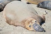 northern elephant seal, Mirounga angustirostris, fur peels off a male seal as it undergoes its annual molt or moult, termed a catastrophic molt, because a layer of skin comes off with the fur and intense hormonal changes are involved; Piedras Blancas, near San Simeon, California, United States ( Eastern Pacific Ocean )