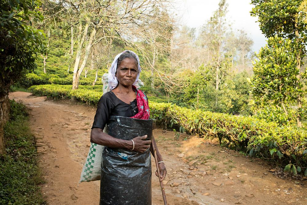 Tea picker, Ella, Sri Lanka