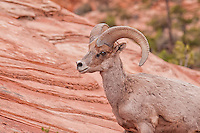 A close-up of a desert bighorn sheep in Zion National Park in Southern Utah. I was hiking through the hills when in the early evening I came upon a large group of about thirty individuals, including other rams, ewes, and lambs. It took me an hour to get this close for this shot.