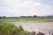 Farm workers planting rice plants in field flooded with water, Trinidad, 1963