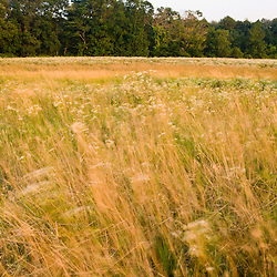 Grasses are blown by the wind in a hay field in Bridgewater, Massachusetts.  Summer.