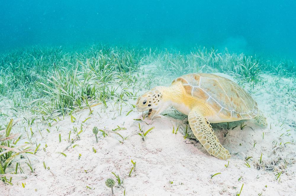 A green sea turtle (Chelonia mydas) feeding on seagrass (Thalassia testudinum) off Eleuthera, Bahamas.