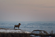 A male Bighorn sheep looks over his territory at Badlands National Park in South Dakota