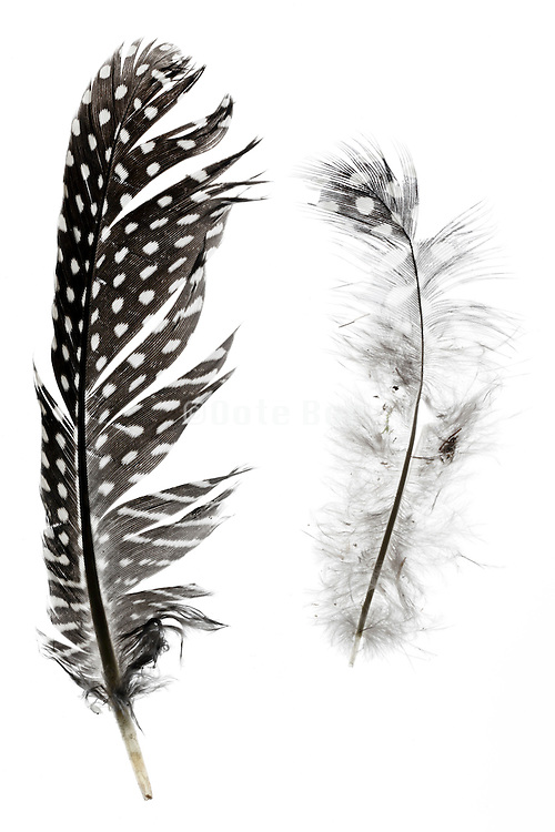 down and bird feather