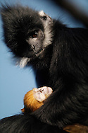 Pumpkin, a Francois' langur (Trachypithecus francoisi francoisi), holds her infant at the Lincoln Park Zoo on January 15, 2009 in Chicago. The Francois' langur infant was born at the zoo on January 12 and is part of an endangered species of primate native to the mountain jungles on the border between Vietnam and China. (UPI)