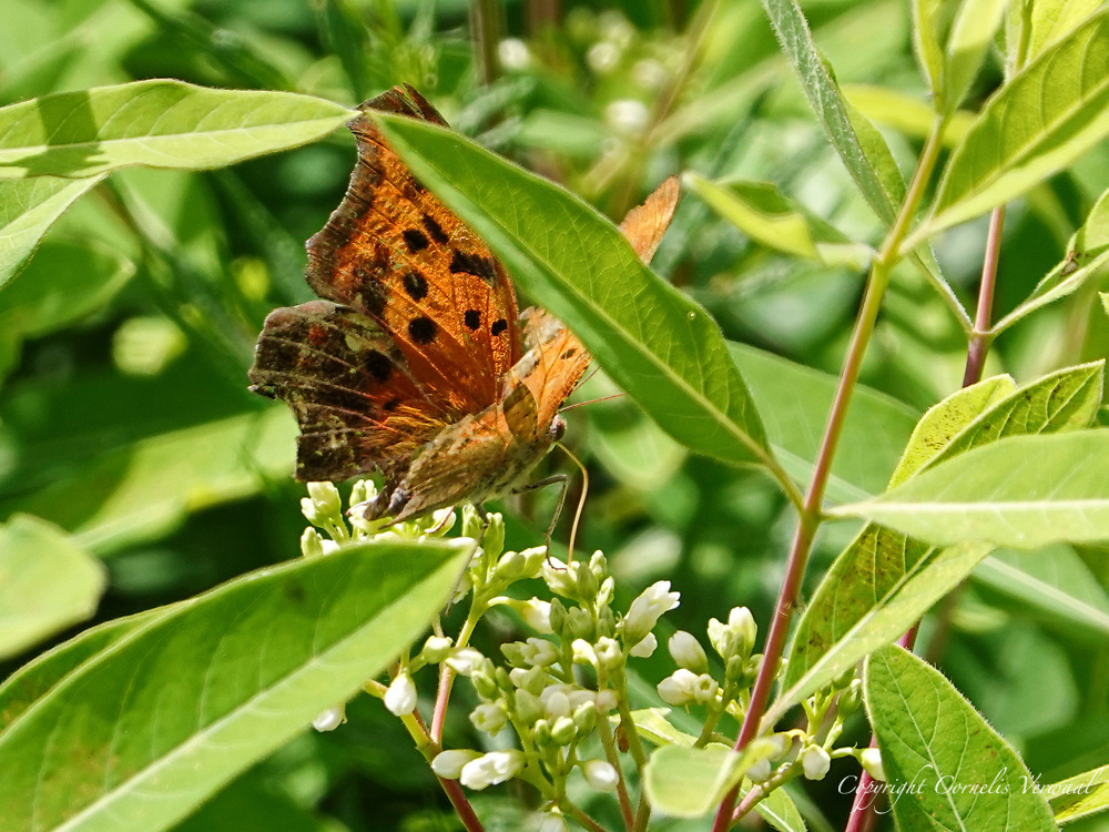A Question Mark (Polygonia interrogationis) butterfly dining on Hemp Dogbane flowers at The Reservoir in Central Park.