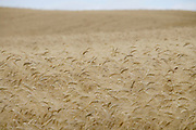 large field with wheat