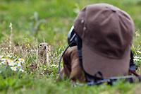 "Ziesel vor Kamera mit ""Tarnkappe"", Spermophilus citellus, Slowakei / Souslik in front of camouflaged camera, Spermophilus citellus, Slovakia"