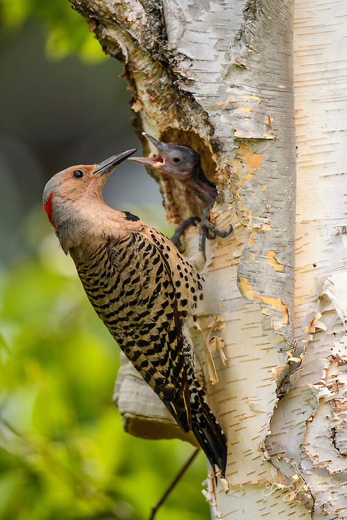 Northern flicker (Colaptes auratus) Adult female feeding young in birch tree nest cavity, Wanup, Ontario, Canada