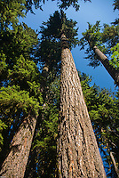 Old Growth Forest, Trees, Mt. Baker; Nooksack Valley, Pacific NW; Washington;