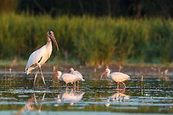 Wood Storks and white ibis, Lemon Lake, Great Trinity Forest near Trinity River, Dallas, Texas, USA.