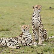 Cheetah (Acinonyx jubatus) a pair of brothers. Serengeti Plains. Masai Mara Game Reserve. Kenya. Africa.