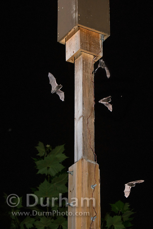 """Dgital composite of indiana bats (Myotis sodalis) flying in the vicinity and emerging from an artificial day roost - Indianapolis, Indiana. These """"bat boxes"""" were created for a research project managed by the Center for Bat Research at Indiana State University to mitigate for lost habitat with this highly endangered species."""