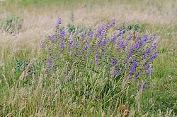 Veldsalie, Salvia pratensis