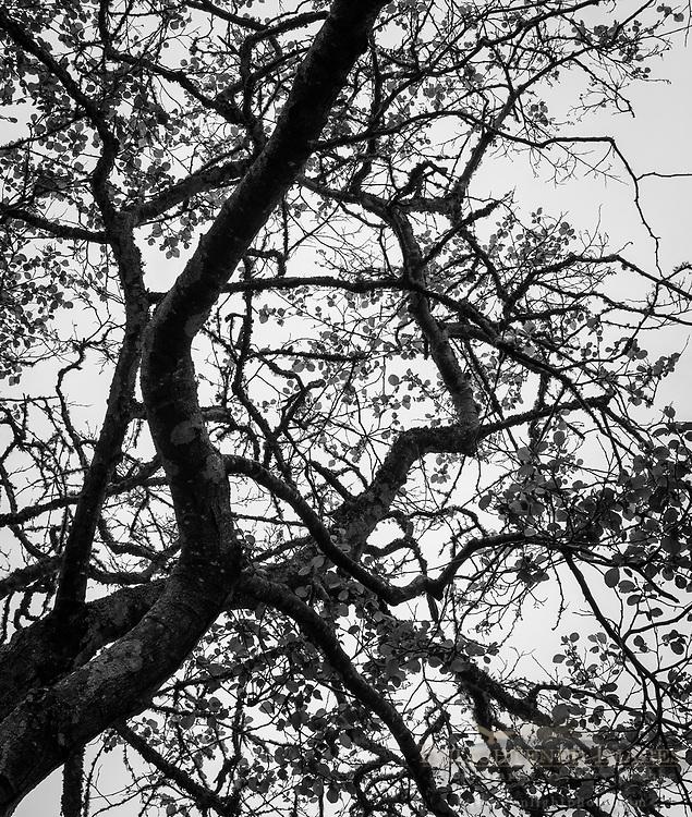 Tree detail, Humboldt County, California