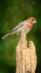 A Male Finch Looking On From A Dead Tree Stump