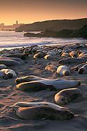 Elephant Seals resting while hauled out on sand beach at sunset, Piedras Blancas, near San Simeon, California