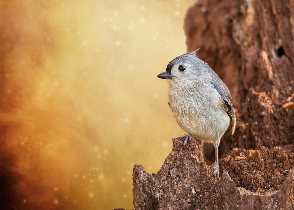 A Tufted Titmouse Stand On Lookout Where His Nest Is Close By
