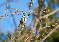 Yellow-rumped warbler (Setophaga coronata), perched in a tree, Annapolis Royal Marsh, French Basin trail, Annapolis Royal, Nova Scotia, Canada