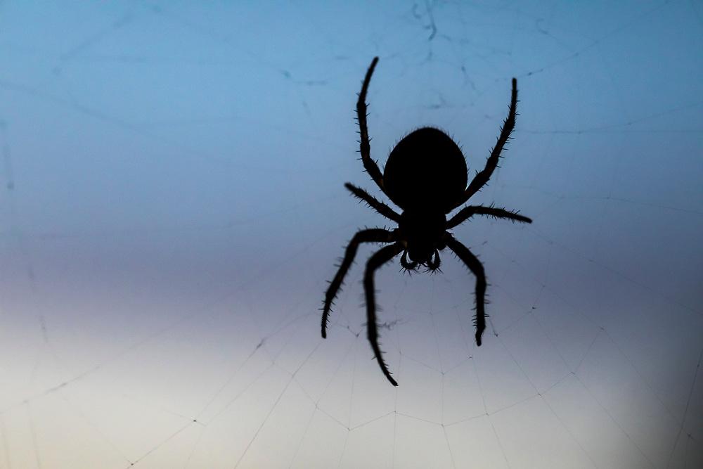 A spider on a web against a blue sky, Western Washington State, USA.