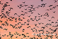00754-02504 Snow Geese (Chen caerulescens) in flight at sunrise Marion Co. IL
