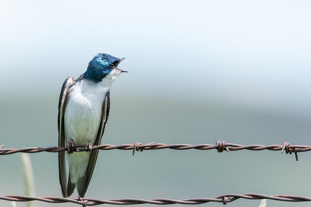 Tree swallow (Tachycineta bicolor) on a fence vocalizing, Wallowa Valley, Oregon.
