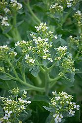 Crambe maritima - Sea Kale, Sea cole, Colewort, Seakale